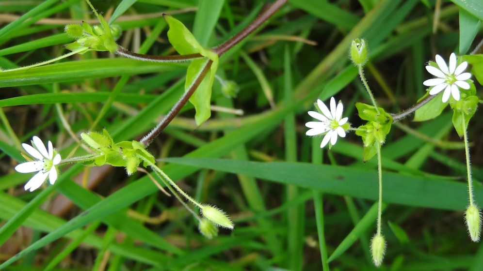greater chickweed