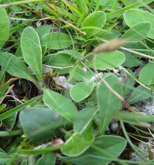 mouse-ear hawkweed leaves