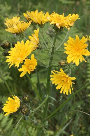 beaked hawksbeard flowers